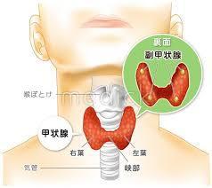 甲状腺の図説